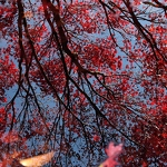 Japanese Maple Reflections - Anna Nielsson