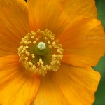 Orange Welsh Poppy - Anna Nielsson