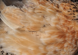 Quail Feathers