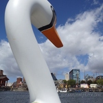 Swan in Salthouse Dock - Anna Nielsson