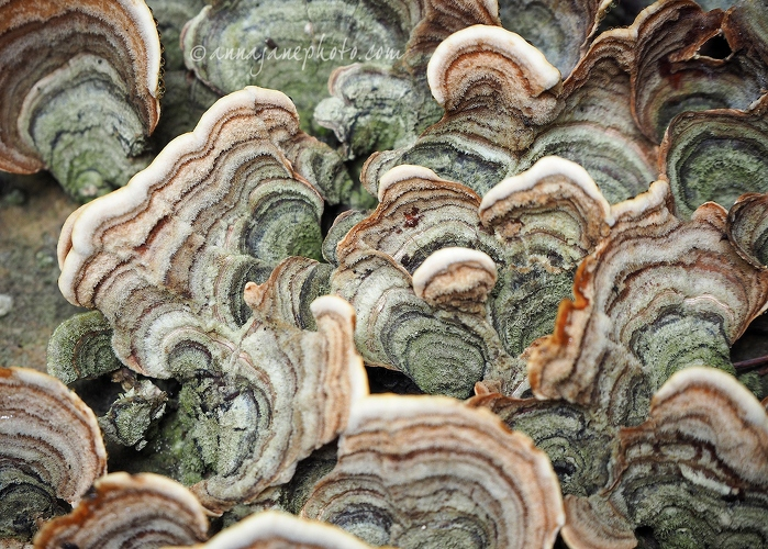 Turkey Tail - 20150626-turkey-tail-fungus.jpg - Anna Nielsson