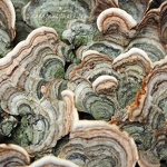 Turkey Tail - Anna Nielsson