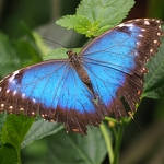 Blue Morpho Butterfly - Anna Nielsson