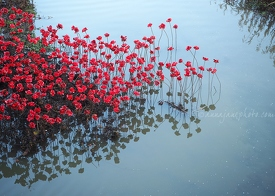 Wave: Poppies