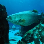 Giant Groupers
