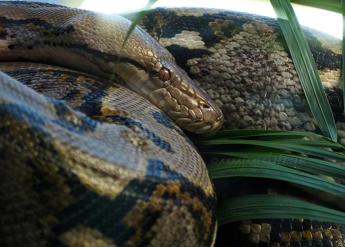 Reticulated Python - 20161125-reticulated-python.jpg - Anna Nielsson