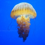 South American Sea Nettle - Anna Nielsson