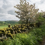 Hawthorn and Stone Wall - Anna Nielsson