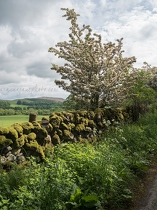 Hawthorn and Stone Wall