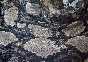 Reticulated Python Skin