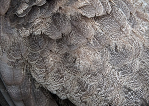 Peahen Feathers