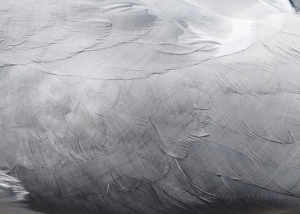 Gull Feathers